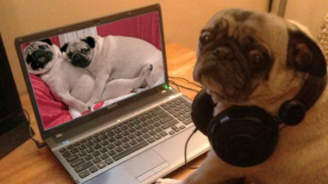 watching_porn_pug_galore
