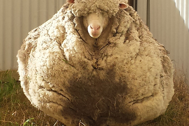 this-is-what-happens-when-you-dont-shear-a-sheep