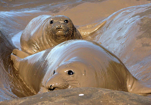 grey elephant seal